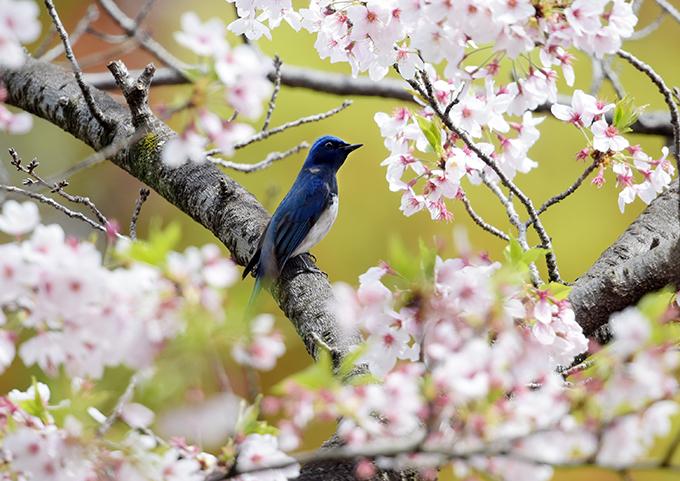 オオルリ桜②2995