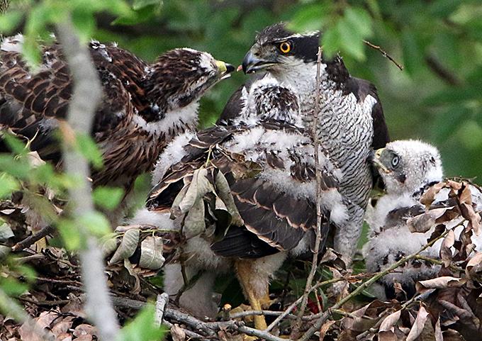 オオタカの巣4905