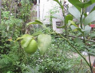WEB_レモンの収穫1