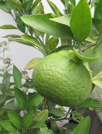 WEB_レモンの収穫3