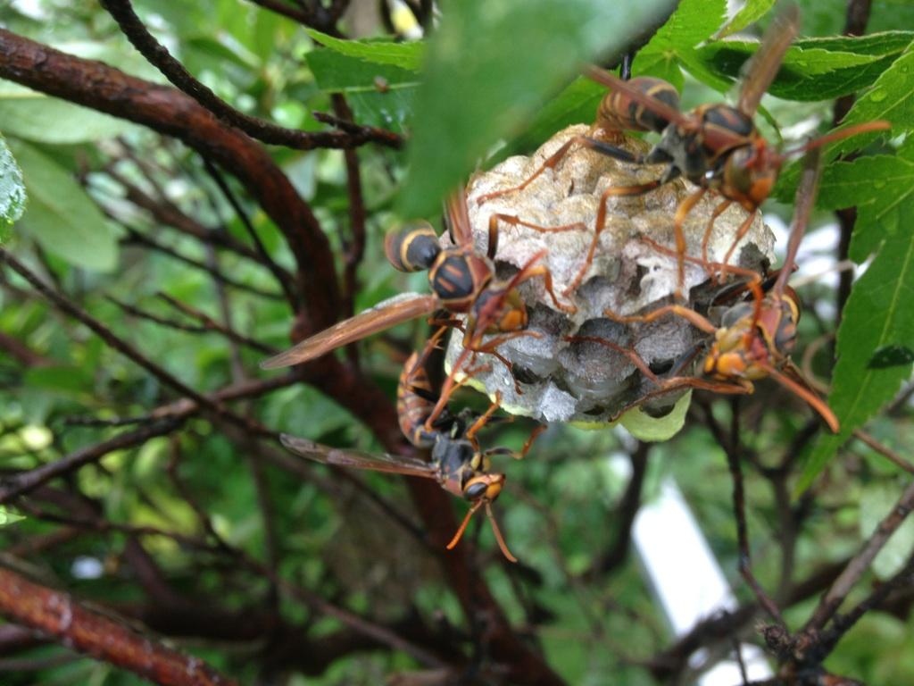蜂の巣にの蜂