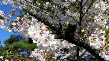 【 見納めの桜 】