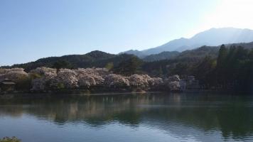 【 見納めの桜 】②