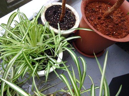 観葉植物 植え替え1