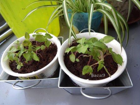 大葉の苗の植え替え