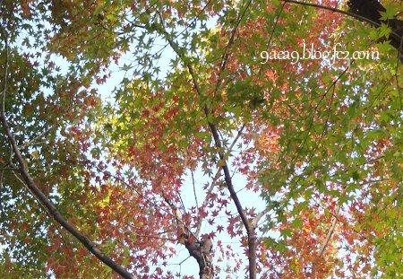 私の住んでいるあたりの紅葉具合 2016 11-8 1