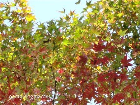 私の住んでいるあたりの紅葉具合 2016 11-8 2