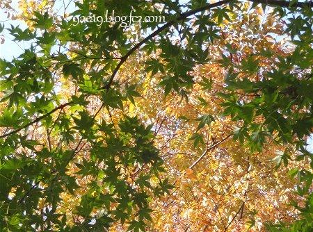 私の住んでいるあたりの紅葉具合 2016 11-8 3