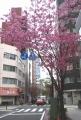 12年4月6日に撮った関内桜通りの緋桜