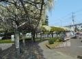 図書館前の白い藤
