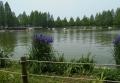 湖畔のアヤメ