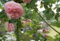 バラ越しに見る中庭