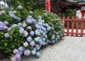 境内の紫陽花