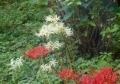白い彼岸花も