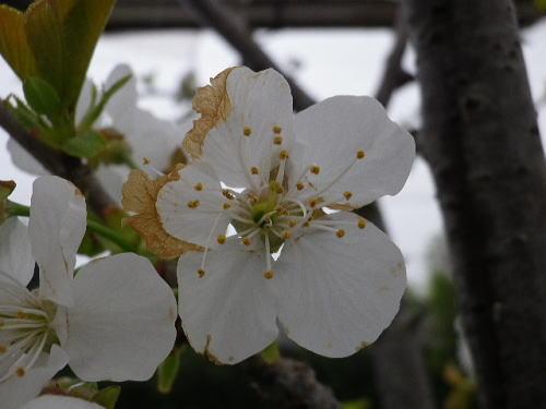 珠桜 2016 4 13-2
