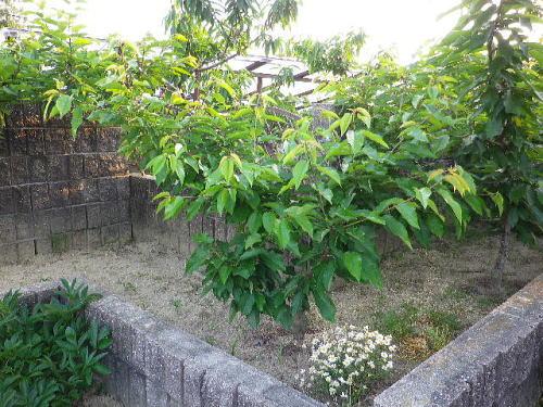 花壇 紅ゆたか 2016 5 15-3