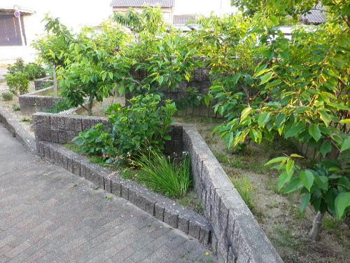 花壇 桜桃 2015 6 15-1