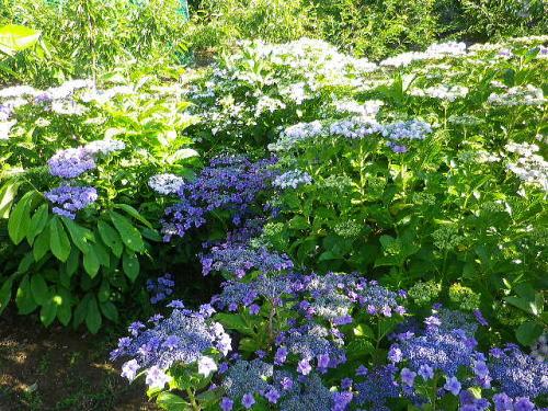 紫陽花畑 2016 6 10-1