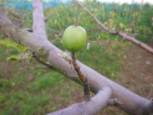 リンゴ 2016 10 12-2