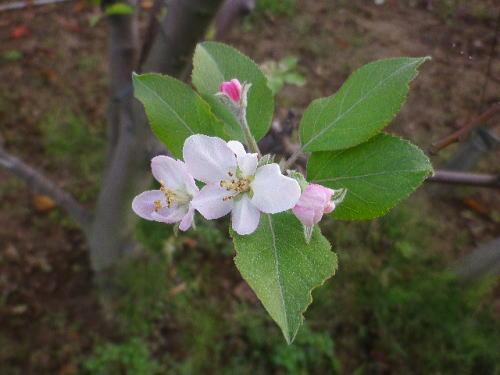 リンゴの花 2016 10 12-1