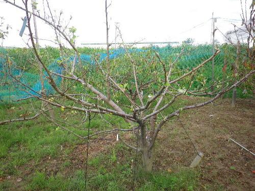 多品種接ぎリンゴ 20116 10 12