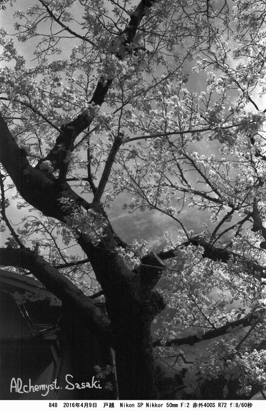 戸越の桜848-9a
