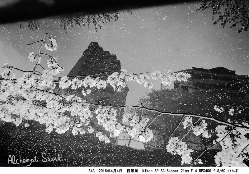 川面と桜843-31