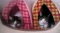 猫里親募集キティちゃんとフィフィちゃん
