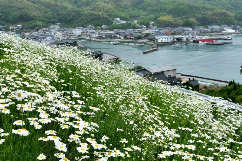 編集 広島因島町の除虫菊ー2-1