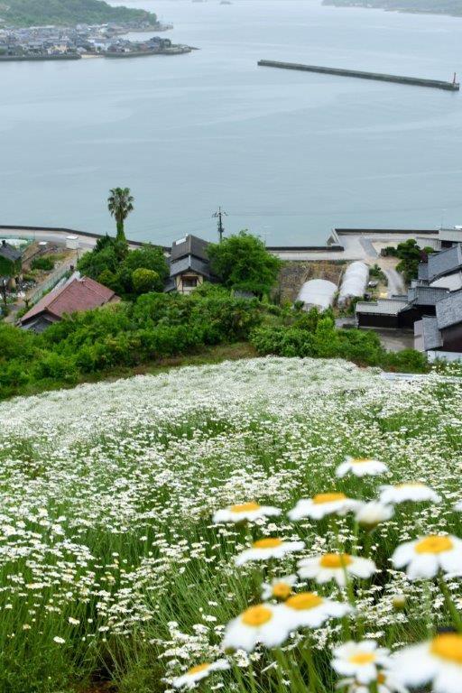 編集 広島因島町の除虫菊ー4-1