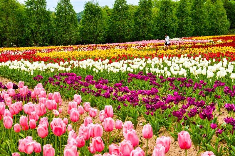 自動編集 広島世羅町の花畑ー10-1