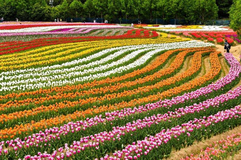 自動編集 広島世羅町の花畑ー7-1