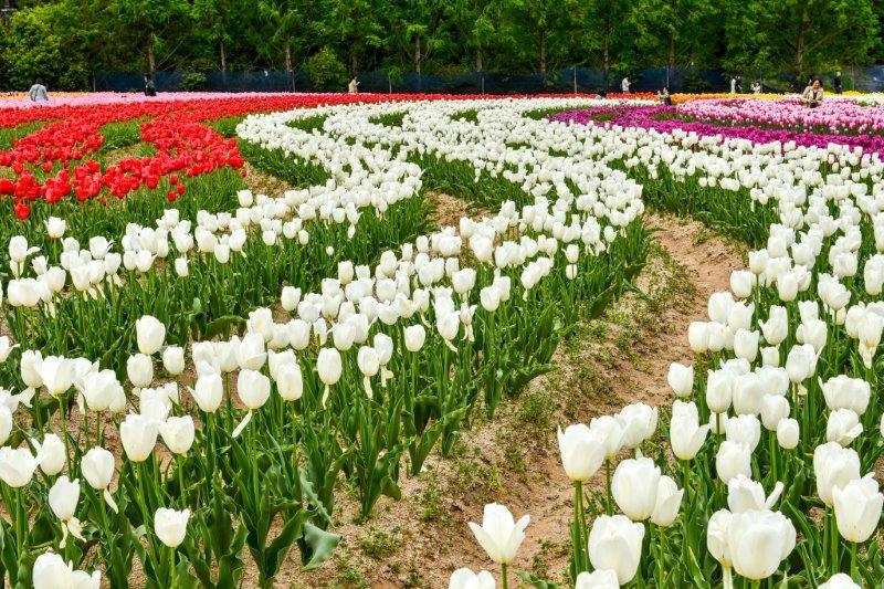 自動編集 広島世羅町の花畑ー9-1