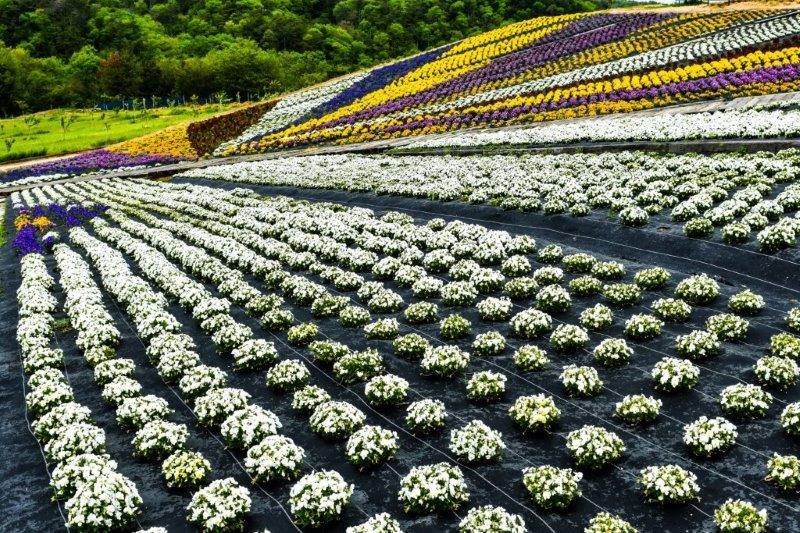 編集 広島世羅町の花畑ー8-1