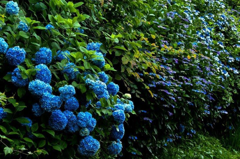 編集 石畳の紫陽花 -1