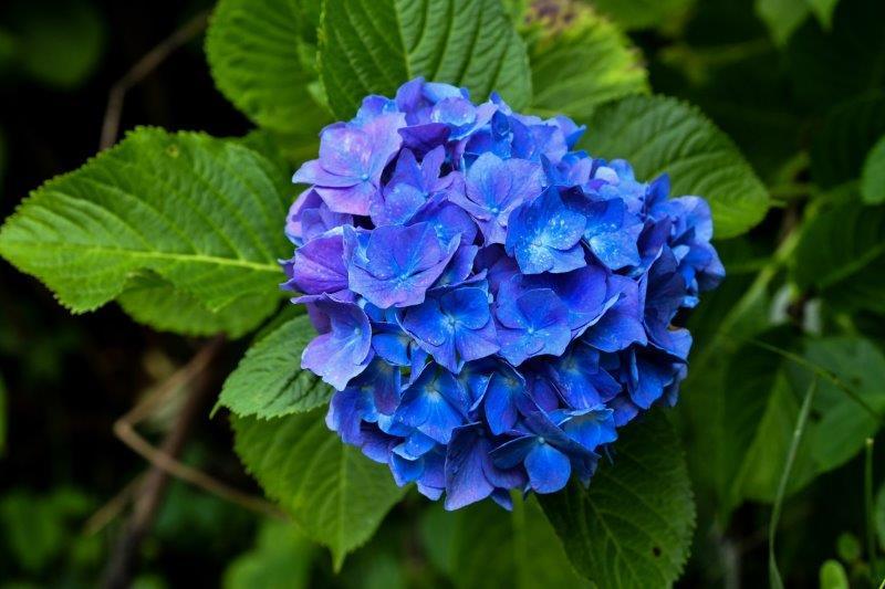 編集 石畳の紫陽花 -2 -1