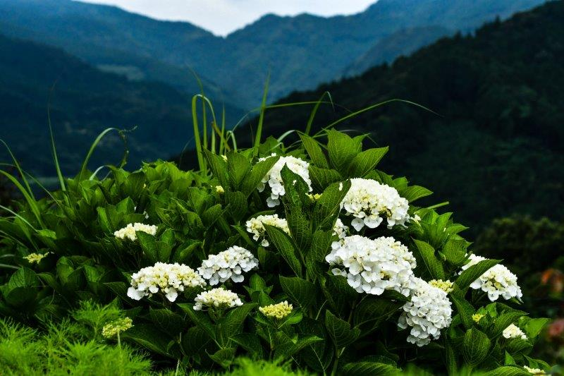 編集 石畳の紫陽花 -4-1