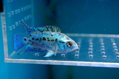 bluedenpushi (1)