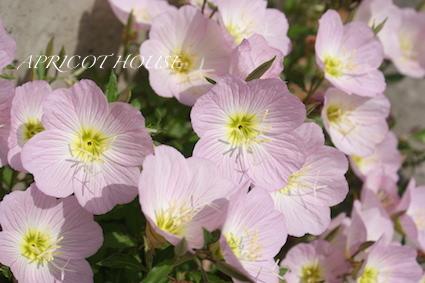 160411昼咲き月見草