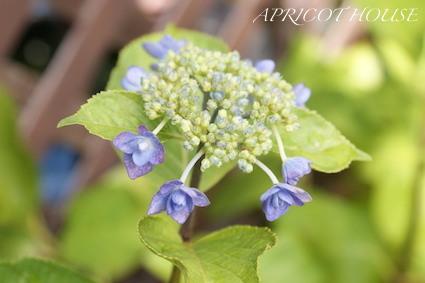 160506紫陽花