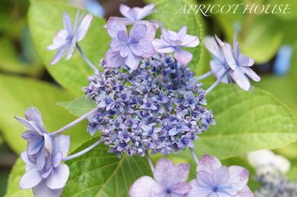 160611紫陽花