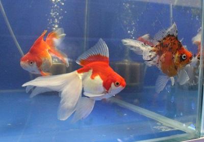 金魚0424