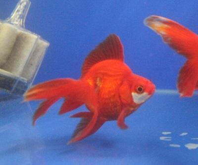 金魚0424-4