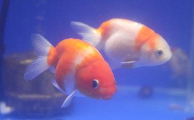 金魚0424-2