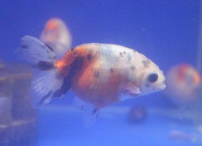 金魚0424-3