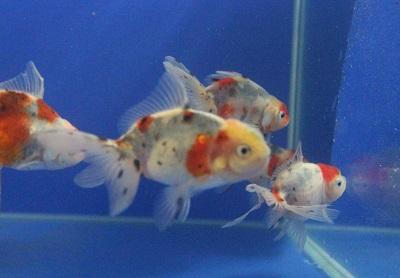 金魚0514