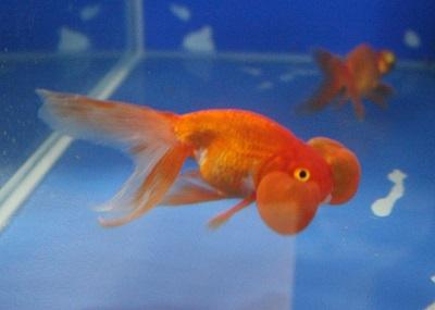 金魚0514-2