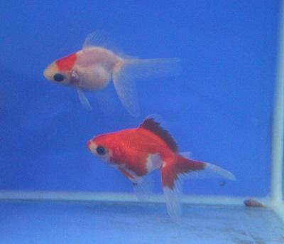 金魚0514-3
