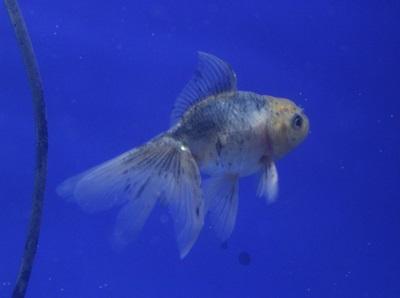 金魚0602