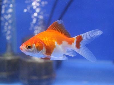 金魚0602-2